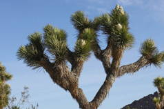 Pine Trees to Joshua Trees